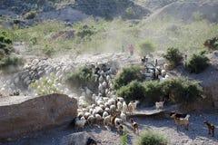 山羊牧群, Palomares,安达卢西亚 免版税库存照片