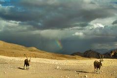 山羊牧群 免版税库存图片