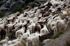 山羊牧群 库存照片