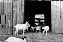 山羊生活 免版税库存图片