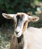 山羊画象 免版税库存图片