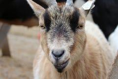 山羊画象 库存照片