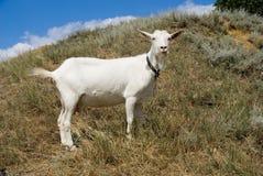 山羊白色 库存图片