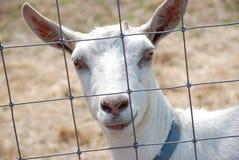 山羊白色 图库摄影