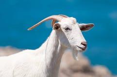 山羊白色 免版税库存图片