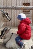 山羊的小孩 图库摄影