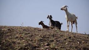山羊的滑稽的运动在狂放的生活中 影视素材