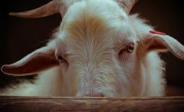 山羊的眼睛的特写镜头射击 免版税图库摄影
