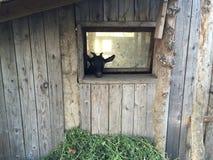 山羊看 图库摄影