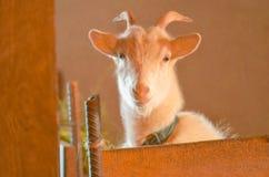 山羊繁殖的农场 白色的接近的山羊纵向 图库摄影