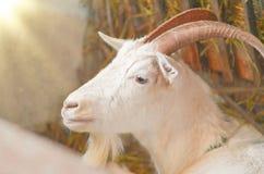 山羊繁殖的农场 白色的接近的山羊纵向 免版税库存图片