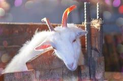 山羊繁殖的农场 白色的接近的山羊纵向 免版税库存照片