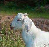 山羊纵向白色 免版税库存图片