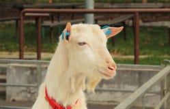 山羊纵向 免版税库存图片