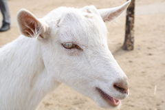 山羊纵向 库存图片