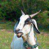 山羊纵向 免版税库存照片