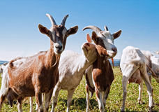 山羊组 库存图片