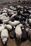 山羊绵羊 库存图片