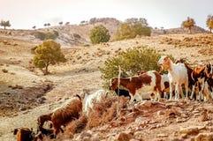 山羊群在一个农村风景的 塞浦路斯 免版税库存图片