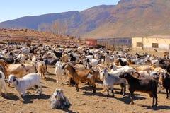 山羊群在gran卡纳里亚赤裸山的一个农场在西班牙 图库摄影