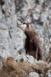 山羊自然栖所的山 免版税库存照片