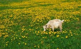 山羊草甸 免版税库存图片
