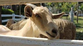 山羊褐色山羊滑稽的面孔小山羊动物 免版税库存图片
