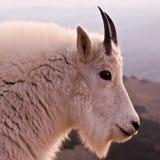 山羊配置文件 库存照片