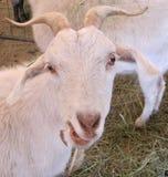 山羊面孔 免版税库存照片