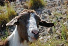 山羊顶头保姆 免版税库存图片