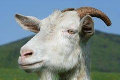 山羊题头 免版税图库摄影