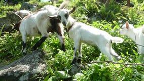 山羊,密林 图库摄影