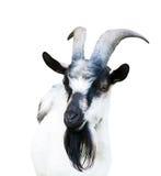 山羊,被隔绝 库存照片