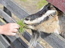 山羊 7个动物动画片农厂例证系列 免版税库存图片
