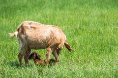 山羊婴孩一只新出生和母亲山羊 免版税库存照片