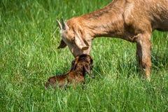 山羊婴孩一只新出生和母亲山羊 库存照片