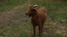 山羊 敌意 自然 草 股票视频