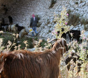 山羊&牧羊人 库存照片