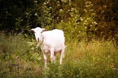 山羊绿色草甸 库存照片