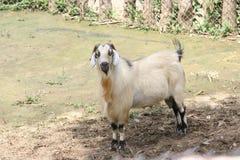 山羊画象 图库摄影