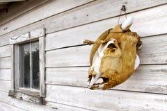 山羊头骨 库存照片