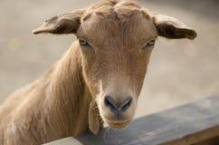 山羊 免版税库存图片