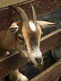 山羊 库存图片