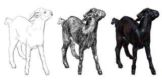 黑山羊 库存图片