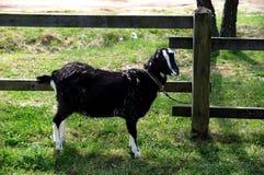黑山羊 库存照片