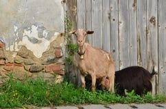 山羊 免版税库存照片