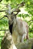 山羊ii 免版税库存图片