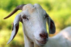 山羊nannie 库存图片