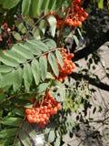 山脉灰果子是象小红宝石,喂养冬天鸟 库存图片