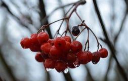 山脉灰树莓果 免版税库存照片